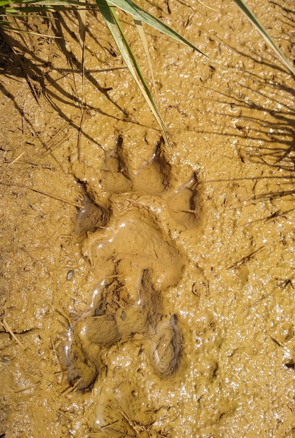 Volčja šapa, katero so naši kamperji našli na Kočevskem.